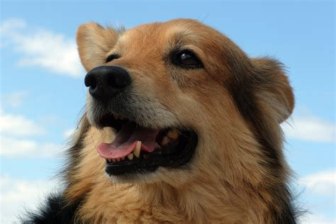 golden retriever whiskers free images puppy fur nose whiskers golden retriever