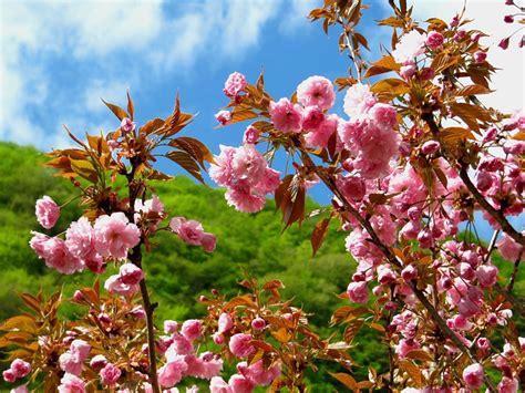 ciliegio da fiore giapponese kanzan il ciliegio giapponese degli italiani