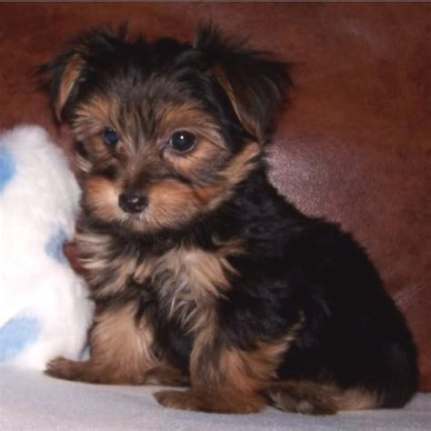 black morkie puppies brown maltese puppies www imgkid the image kid has it
