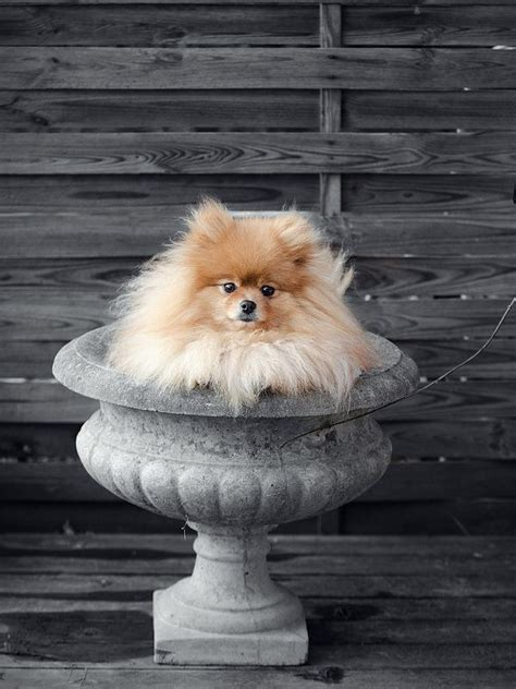 touch of color 17 best ideas about pomeranian colors on baby