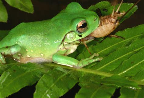 Feeding Frog fs braimstorming thread page 4 pox nora forums