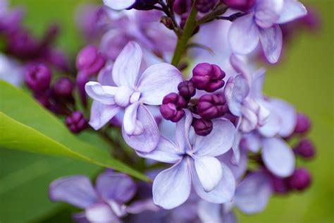 fiore lillà lill 224 caratteristiche consigli e cure di questa pianta