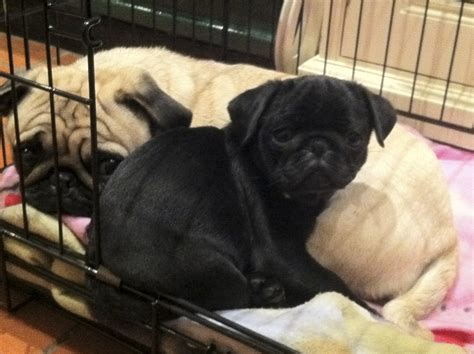 pugs uk black pug puppy www pugs co uk