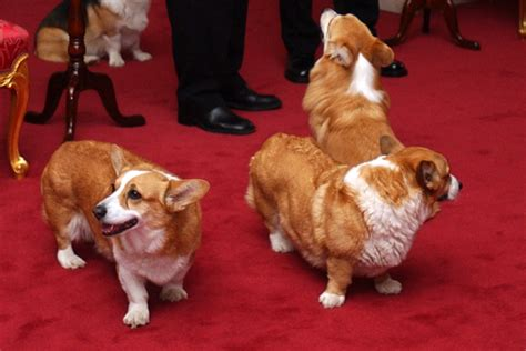 queen elizabeth dog queen s corgis attack royal pup