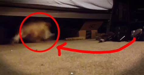 monster under my bed movie adorable dog loves running under the bed funny video
