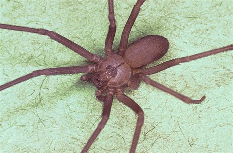 brown recluse image file brown recluse spider loxosceles reclusa jpg