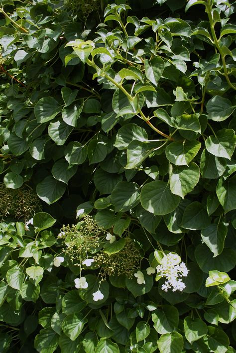 climbing vines climbing hydrangea