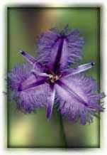 sexuality fiori australiani fringed violet altrasalute