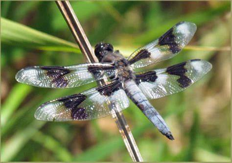 cascade ramblings critters dragonfly eight spotted