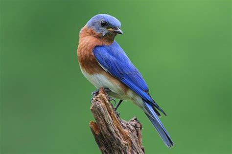 top 28 facts about bluebirds eastern bluebird facts