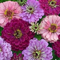 Flower Garden Seeds Zinnia Seeds 117 Top Zinnias Annual Flower Seeds