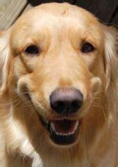 how big do golden retrievers grow animals for golden retriever