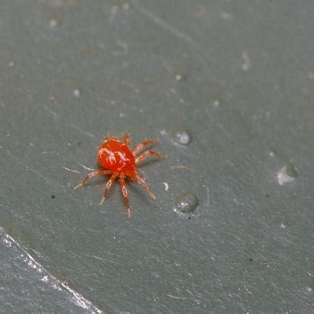 kleine rode spinnetjes in huis spintmijt op groenten of fruit bestrijden insecten op