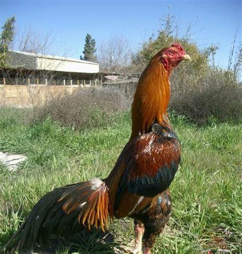 Tas Ayam ayam bangkok jual tas ayam jago ayam aduan ayam sabung