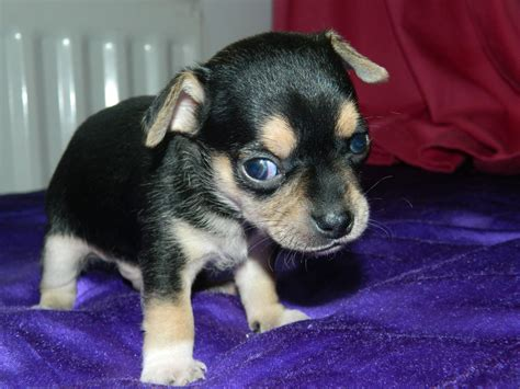 chihuahua beagle mix puppies for sale black and chihuahua puppies book covers