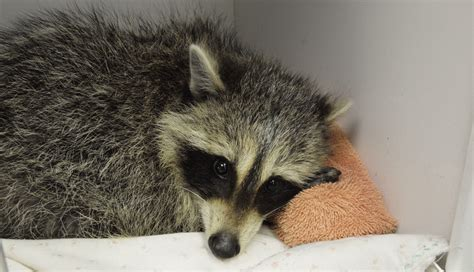 how to catch a raccoon in my backyard baby raccoon recovering after rescue from trap toronto star