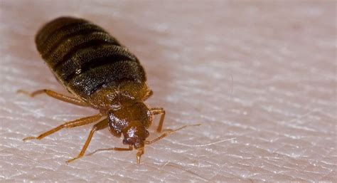 bed bug photo bed bug removal treatment for bed bugs in new england
