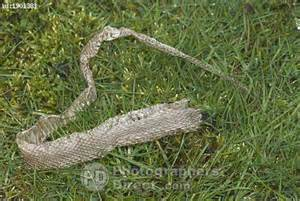 Why Snakes Shed Skin by Pd Stock Photo Grass Snake Skin Sloughed In Grass Uk