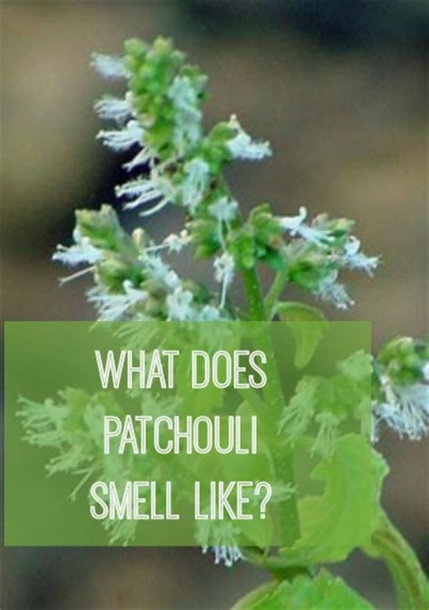 does concolor fir smell like oranges what does patchouli smell like how things smell