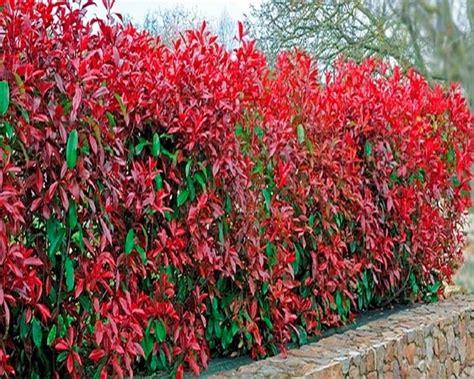 eccezionale Piante Per Siepi Da Giardino #1: siepe-rossa_NG1.jpg