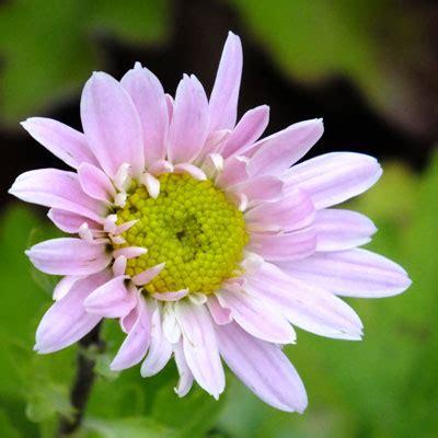 chrysanthemum 'innocence' dorset perennials