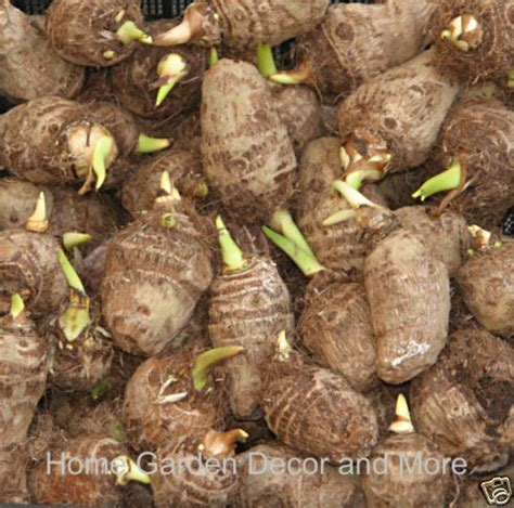 15 green taro elephant ear water lily bulbs pond water plant edible ebay