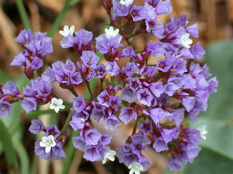 Sprei Lavender Violet No 1 Fata seashore flowers and grasses pinegreenwoods