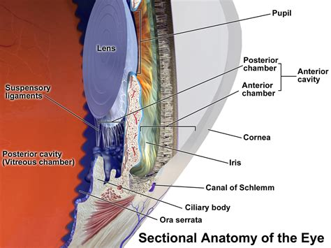 sectional anatomy of the eye eye accommodation and aiol lenses