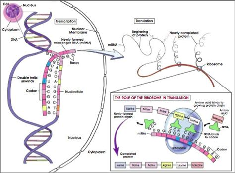 6 proteins involved in dna replication study biology chapter 6 expression of biological