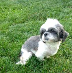shih tzu puppies adoption view ad shih tzu for adoption ohio pataskala usa