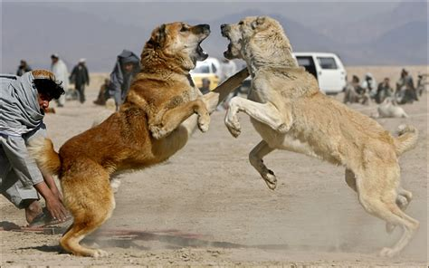 puppies fighting kangal info varieties care pictures