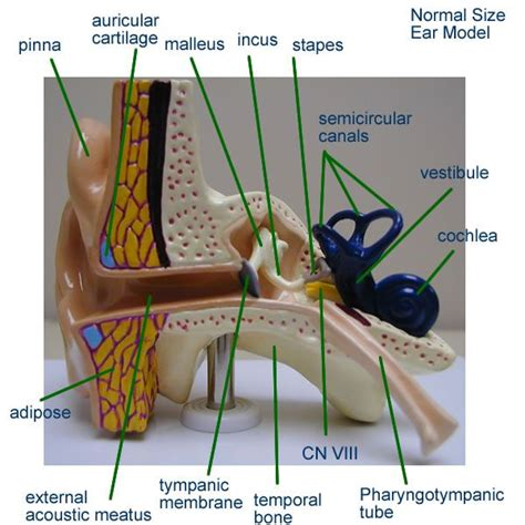 ear model nervous system anatomy spinal cord anatomy