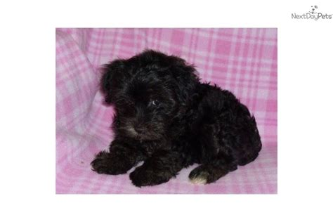 yorkie poos for sale in ga yorkiepoo yorkie poo puppy for sale near atlanta cb3bdfdd a501