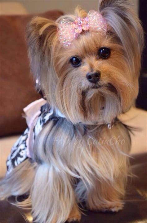 teacup yorkie hairstyles 642 best yorkies images on yorkies animals and puppies