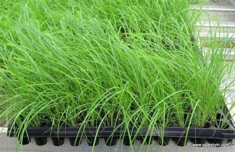 images of love grass eragrostis elliotii love grass