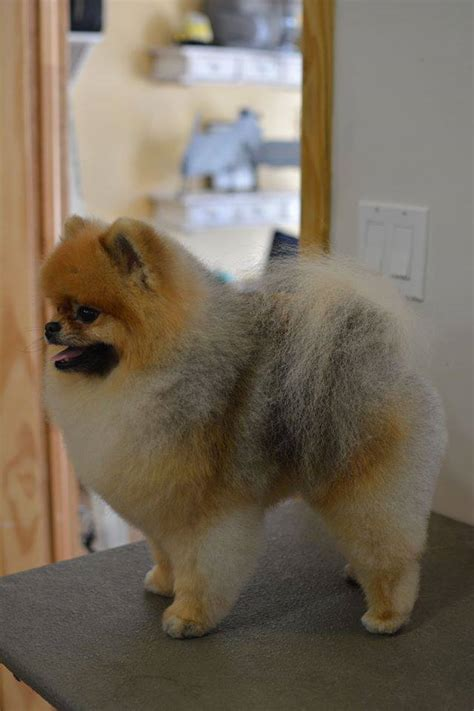 how to groom a pomeranian cut adorable pomeranian great grooming pomeranians