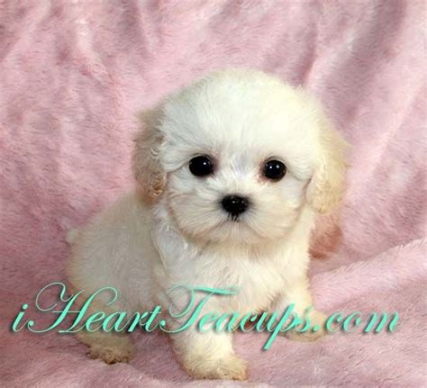 maltipoo puppies for sale in wisconsin 17 best images about maltipoos on poodles teacup maltese