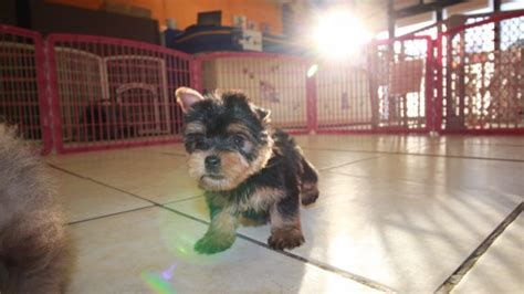 yorkie for sale in atlanta teacup yorkie puppies for sale atlanta ga photo