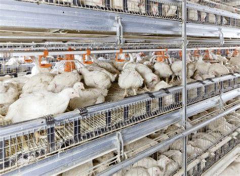 Berapa Bibit Ayam Broiler 12 desain kandang ayam petelur dan broiler modern rumah impian