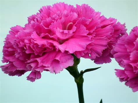 hot pink carnation flower wallpaperscom