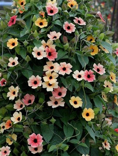 large flowered climbing plant 25 best ideas about climbing flowering vines on