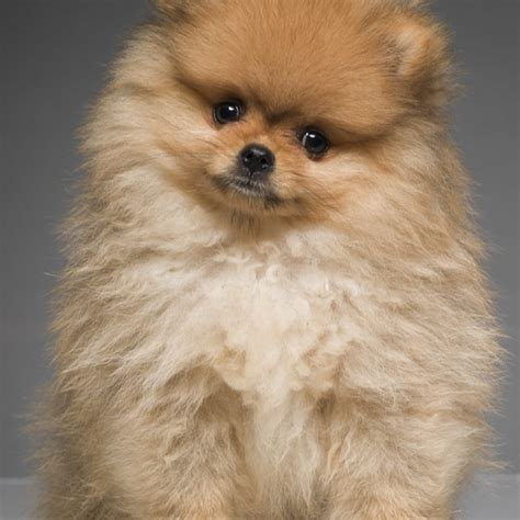 pomeranian kills baby 1000 ideas about baby pomeranian on pomeranian puppy teacup pomeranian