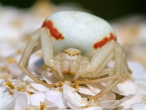 spider facts goldenrod crab spider
