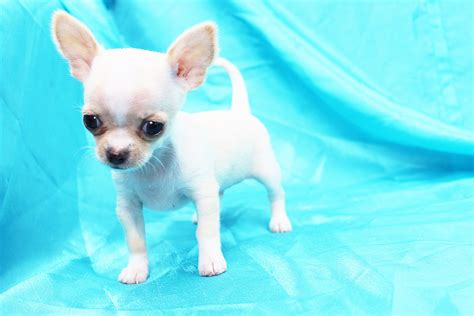 chihuahua puppies for sale in california hair teacup chihuahua puppies in los angeles ca