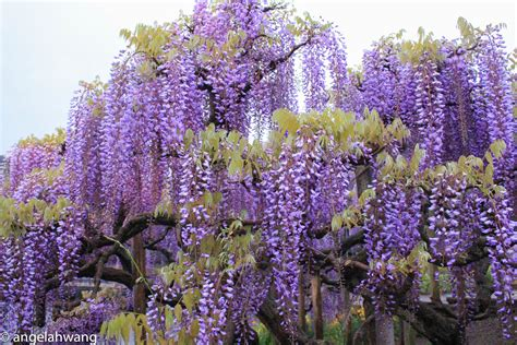 top 28 wisteria flowering season top 28 wisteria