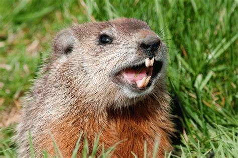 groundhog day s big show on being a groundhog mogul