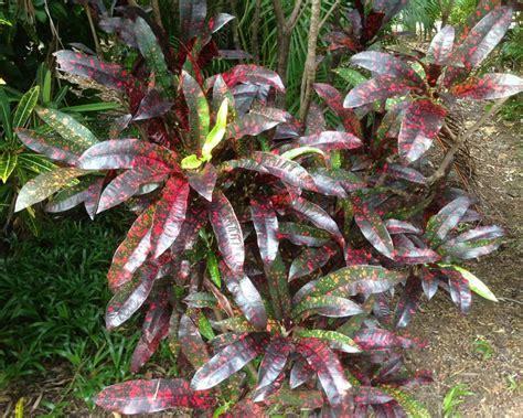 gardensonline codiaeum variegatum
