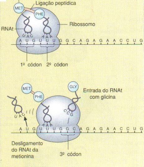 proteinas o que sæo desconversa s 237 ntese de prote 237 na o que 233