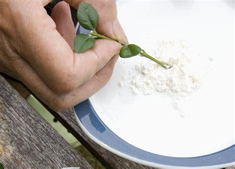 Stecklinge Herstellen 10 ideen wie sie wurzelhormon f 252 r stecklinge selber
