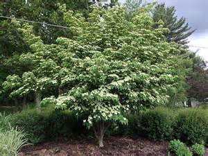 Tall Flowering Shrubs For Shade - kousa dogwood